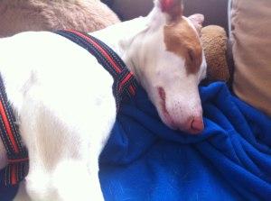 Lilly, spanischer Straßenhund, Podenco